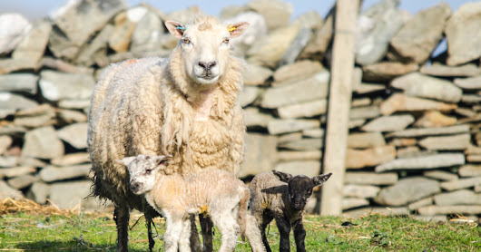 Lambs, BBC and wind farms