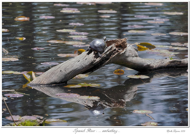 Ipswich River: ... sunbathing...