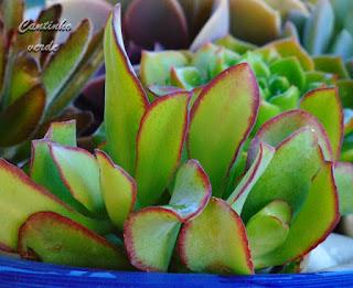 Cuidados da Jade de prata - Crassula arborescens