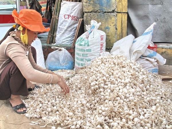 Nông dân huyện đảo Lý Sơn đang phân loại tỏi khô.