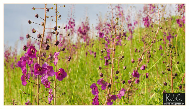 Violette Koenigskerze (Verbasum phoeniceum)