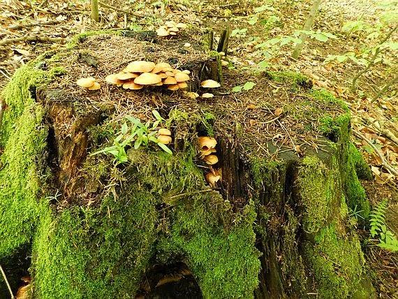 Stary pieniek porośnięty mchami i grzybami.