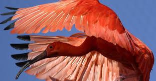Pelo seu colorido vermelho intenso, realçados ainda mais nos grandes bandos em que vive, o guará pode ser considerada uma das aves mais belas do nosso País.