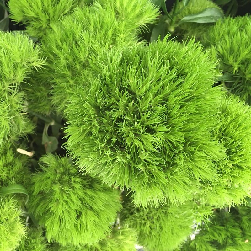 Dianthus 'green trick'