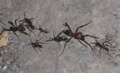 army ants Eciton