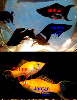 Ini dia gambar Perbedaan Ikan Platy Dan Molly  Jantan atau Betina
