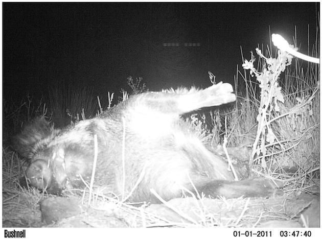 UFO Probe Seen Flying Over Wild Pigs In Texas On Animal Cam Screen%2BShot%2B2018-10-23%2Bat%2B4.50.39%2BPM
