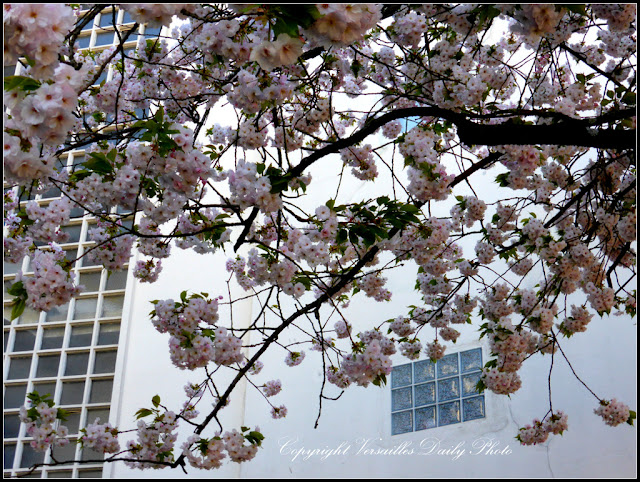 Cerisier Ecole de Montreuil à Versailles