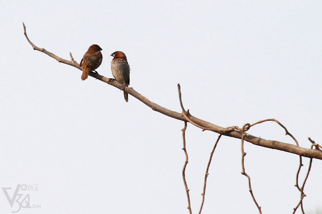 Scaly-breasted Munia(11–12 cm) - Davangere