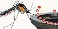 OMS Lanza alerta roja por el virus MAYARO