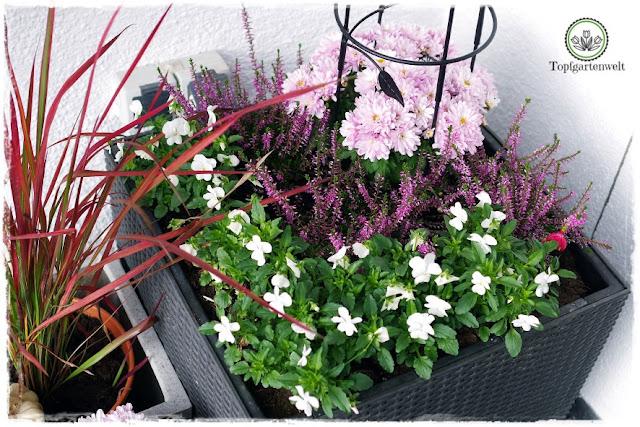 Gartenblog Topfgartenwelt Kooperationen: Herbst im Garten Hornveilchen, Chrysanthemen, Blutgras und Erika