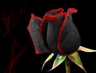 gambar bunga mawar indah 28