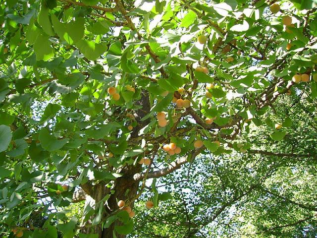 Cây Chay - Artocarpus tonkinensis - Nguyên liệu làm thuốc Chữa Tê Thấp và Đau Nhức