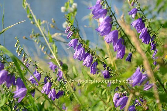 Bellflowers on the river bank - Campanula rapunculoides