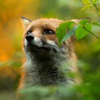 Foto em fundo desfocado de natureza, em tons alaranjados e verdes. Ao centro, uma pequena raposa do peito para cima; a luz reflete o brilho dos olhos castanhos escuros redondos. A raposinha tem pelagem fofa marrom-avermelhada no dorso, no pescoço é cinza esmaecendo e tornando-se branco nas pontas. Orelhas pontudas com tamanho aproximado do focinho, delicado, fino e alongado assim como os bigodes escuros . À esquerda, os raios do sol incidem sobre a pelagem e esboçam um contorno dourado no pequeno animal.