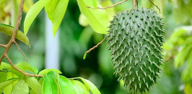 detikhealth.net - Treat Gout Using the Benefits of Soursop Leaves