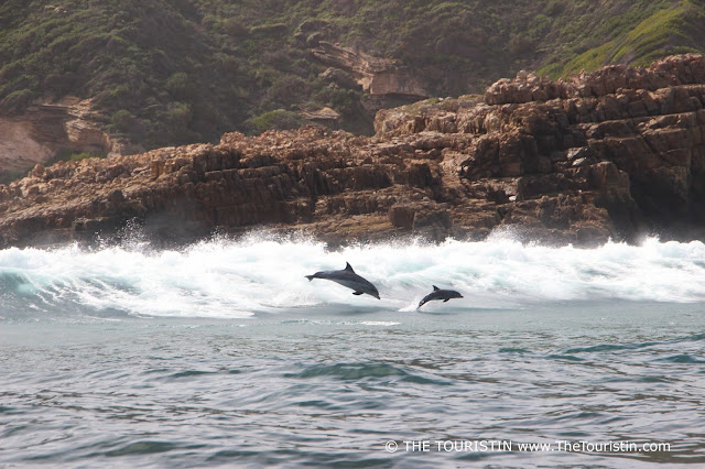 Bottlenose Dolphin mother and calf in the Indian Ocean in Knysna in South Africa