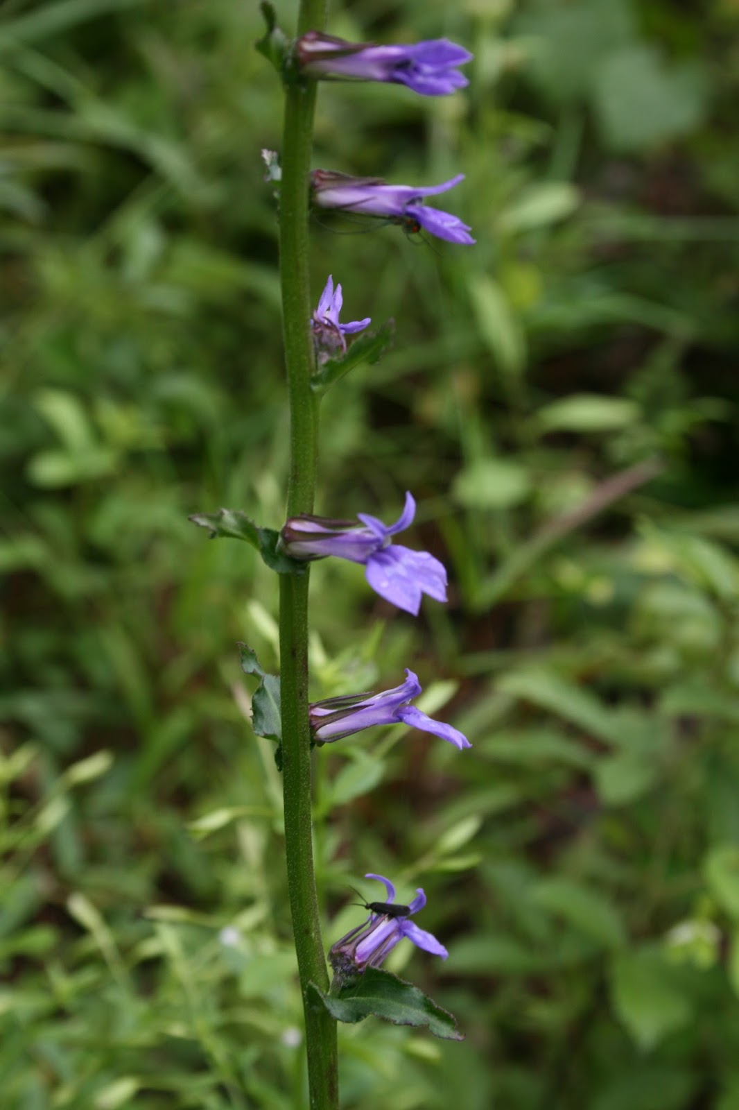 Native Florida Wildflowers: Downy Lobelia - Lobelia puberula
