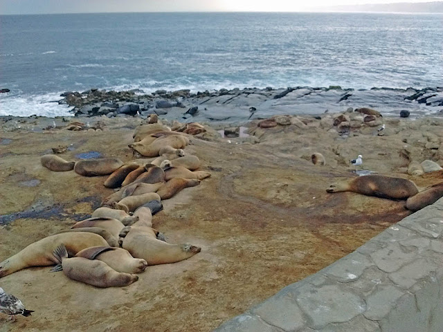 California Sea Lions on Point La Jolla