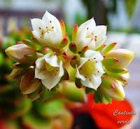 Flor Echeveria Ron Evans ou Emerald Ripple