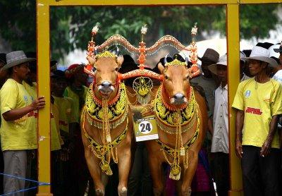 Karapan sapi Masyarakat Madura Jawa Timur