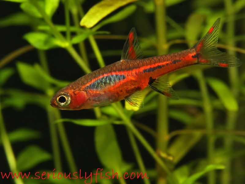chili rasbora and betta