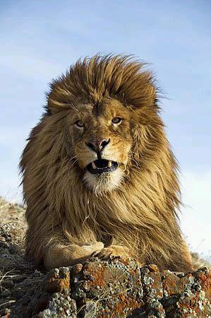 Le Lion De L Atlas : atlas, L'Atlas:, Fauves, Légende:, Puissant, L'atlas, Sera-t-il, Réintroduit, Environnement?
