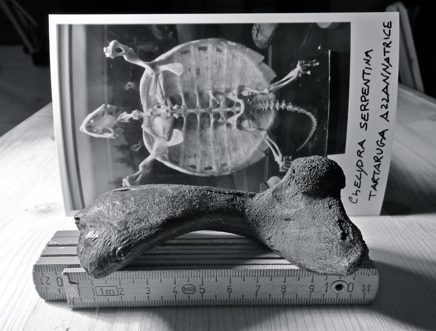 Tartaruga azzannatrice for Tartarughe grandi