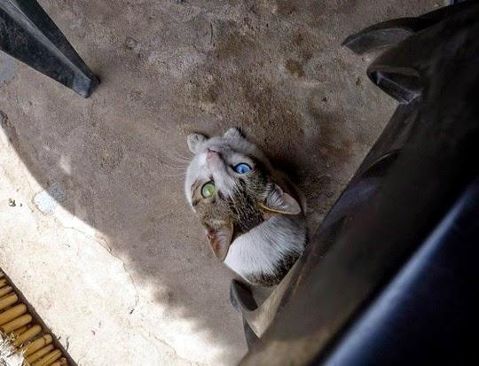 odd-eyed cat Peru