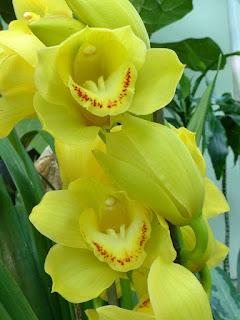 Cymbidium Bedard jaune