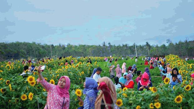 Cantik Banget! Inilah Daftar Taman Bunga Matahari di Indonesia