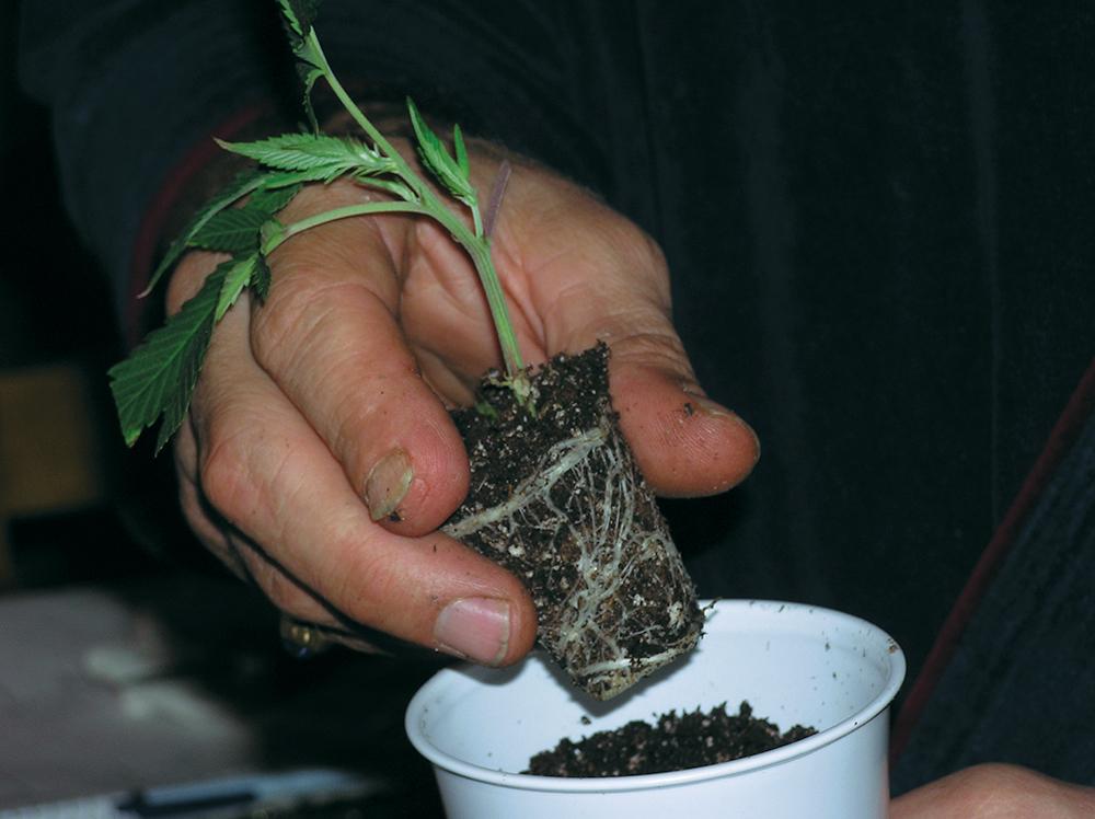 Посадить марихуаны как семечко употреблении страх марихуаны при