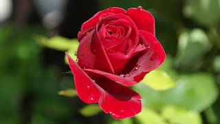 Salah satu herbal esensial yang digunakan dalam aromaterapi  adalah mawar. Aroma mawar efektif pada sistem saraf pusat. Dua  bahan dari aromaterapi mawar, sytrinol dan 2-phenyl ethyl alcohol,  pada mawar dikenal sebagai agen anti ansietas. Menggunakan mawar  oil mengurangi kecemasan sebesar 71% dalam persalinan dan hanya  14% dari mereka yang membutuhkan pembiusan lokal.    Beberapa bahan kimia yang terkandung dalam minyak atsiri  bunga mawar diantaranya sitral, sitronelol, geraniol, linalol, nerol,  eugenol, feniletil, alhohol, farnesol, nonil, dan aldehida (Rubkahwati,  Purnobasuki, Isnaeni, dan Utami, 2013). Pada saat aroma terapi  minyak esensial bunga mawar dihirup, molekul yang mudah menguap  akan membawa unsur aromatic yang terkandung didalamnya seperti  geraniol dan linalol kepuncak hidung dimana silia-silia muncul dari  44 sel-sel reseptor. Apabila molekul-molekul menempel pada rambutrambut tersebut, suatu pesan elektro kimia akan ditranmisikan melalui saluran olfaktori ke dalam system limbik. Hal ini akan merangsang memori dan respon emosional. Hipotalamus yang berperan sebagai  regulator memunculkan pesan yang harus disampaikan ke otak. Pesan yang diterima kemudian diubah menjadi tindakan berupa senyawa elektrokimia yang menyebabkan p