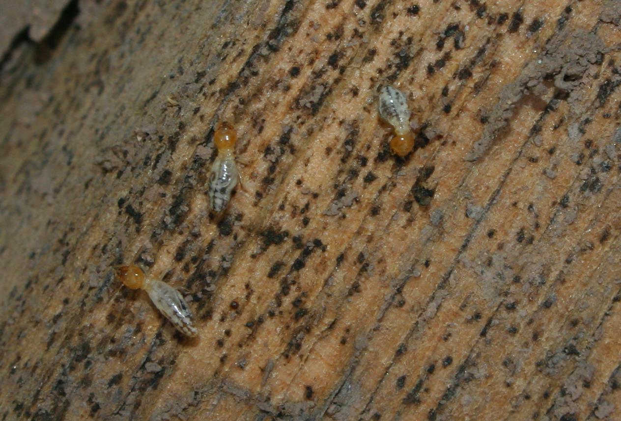 Picture of termites.