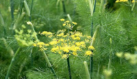 https://economicfinancialpoliticalandhealth.blogspot.com/2017/04/fruit-fennel-can-treat-gallstones.html