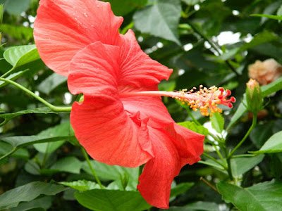 Red tropical hibiscus rosa-sinensis flower at the Allan Gardens Conservatory by garden muses-not another Toronto gardening blog