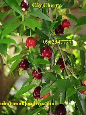 Đăng tin rao vặt: Công dụng và thành phần dinh dưỡng trong quả Cherry Cay-cherry-nha-vuon-khanh-vo-4