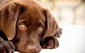 Bullying takoda articulo labrador educacion perros cachorro parque pipican