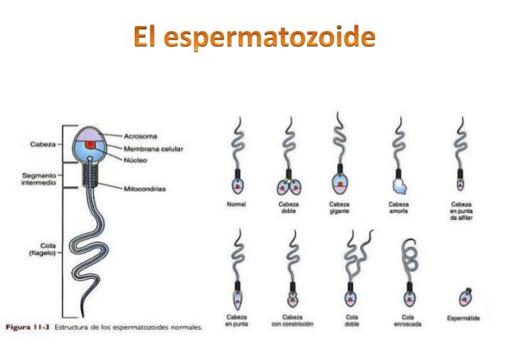 SEMINOGRAMA | Fundamentos y técnicas de análisis bioquímicos
