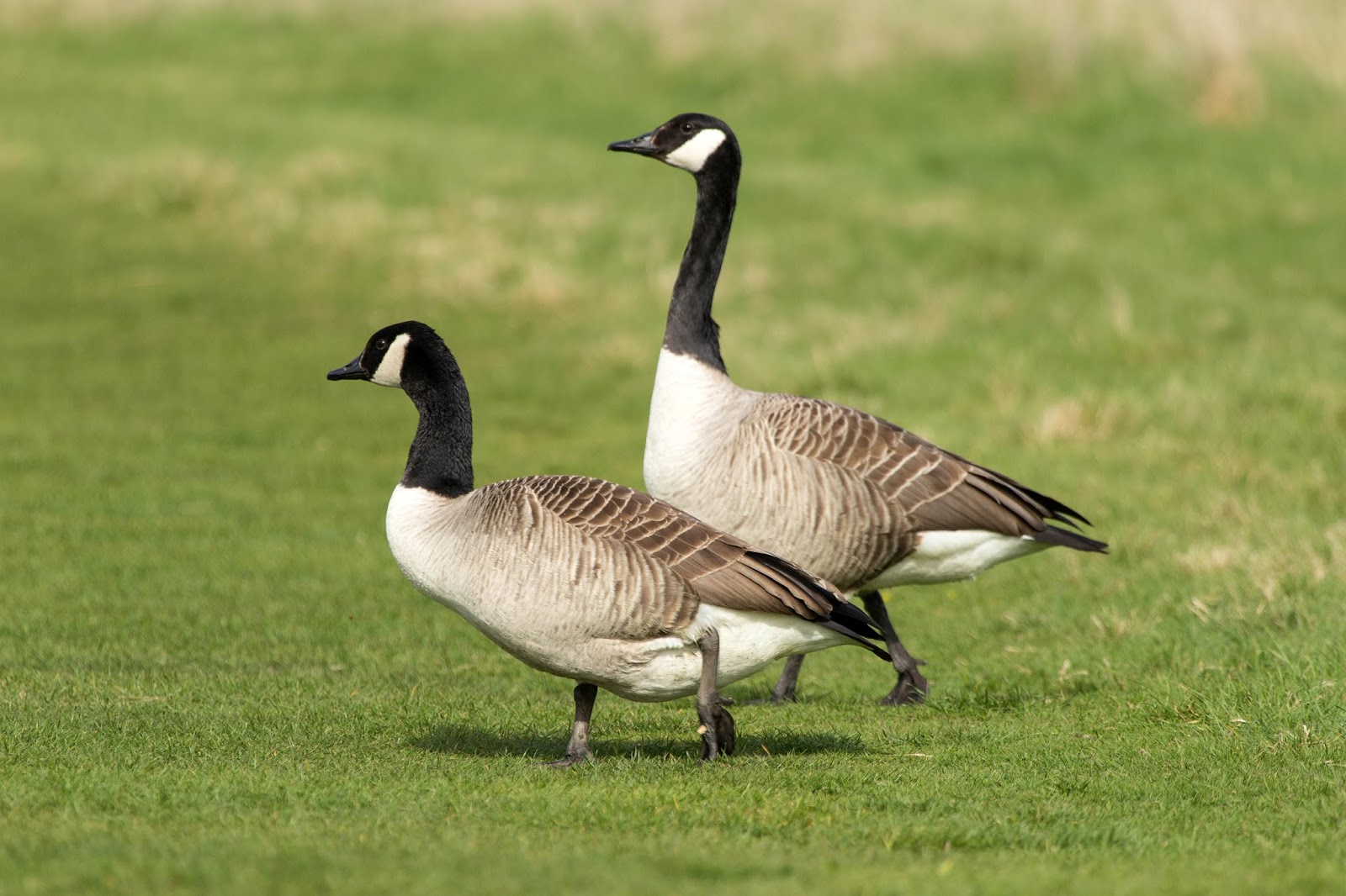 How To Tell A Male Goose From A Female - Shemale Extrem Cock-1793