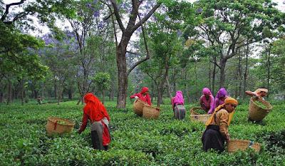 Bir tea garden
