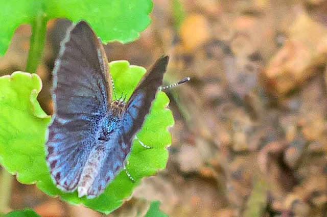blue butterfly, wings folding,garden