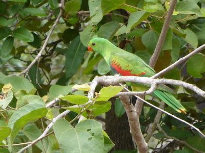 Papagayo alirojo hembra en las inmediaciones de la cascada Tolmer