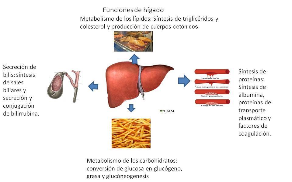 Sistemas del Cuerpo Humano: Sistema Digestivo - Anatomía y