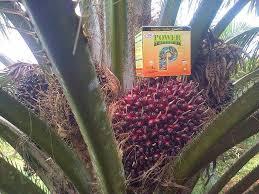agen pupuk penyubur kelapa sawit