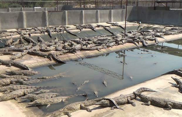 Empresario de Tanzania abrirá granja de cocodrilos en Armenia