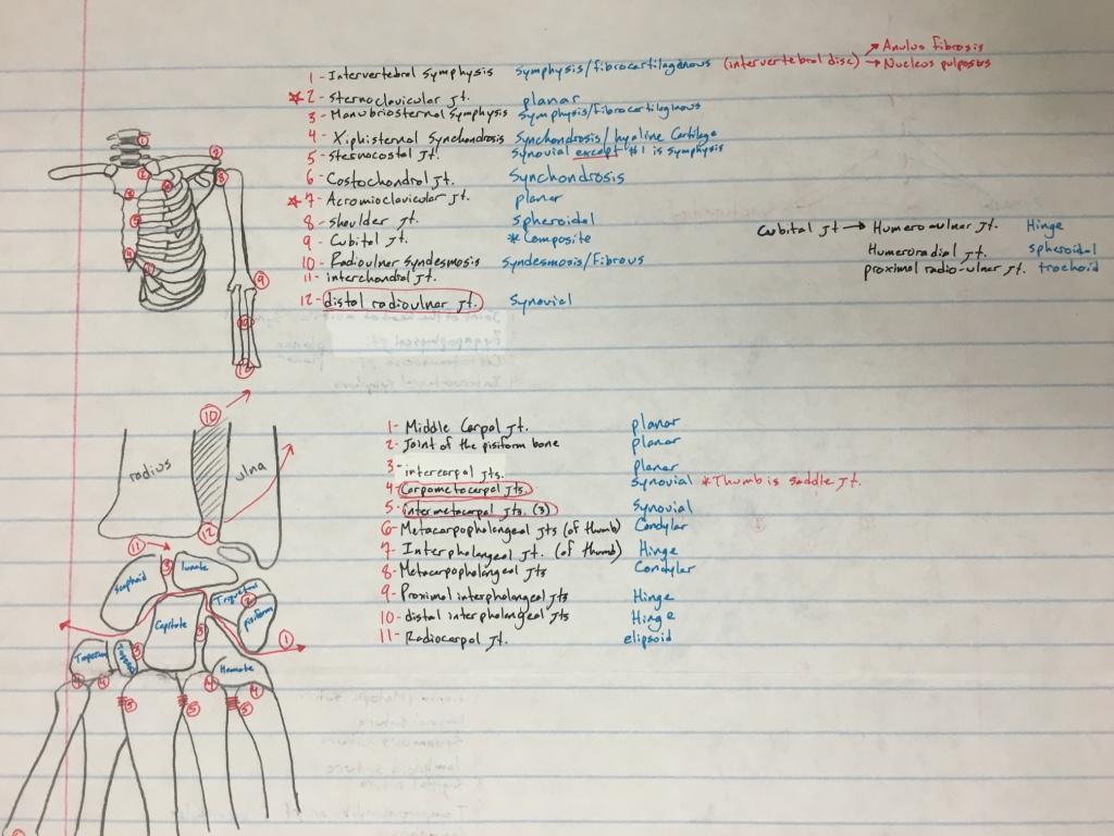 Chapter 7 - Arthrology | Breaking UVU Anatomy