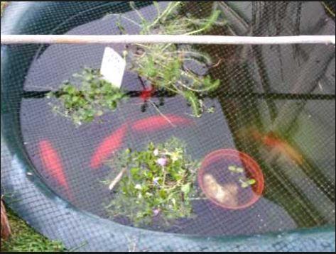 Budidaya Ikan Mas di KJA