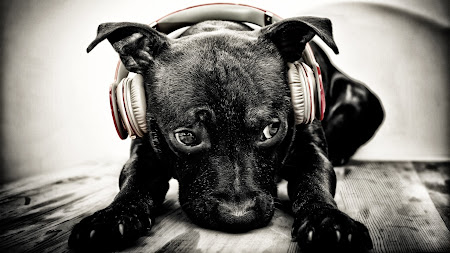 Puppy with Beats Headphones HD
