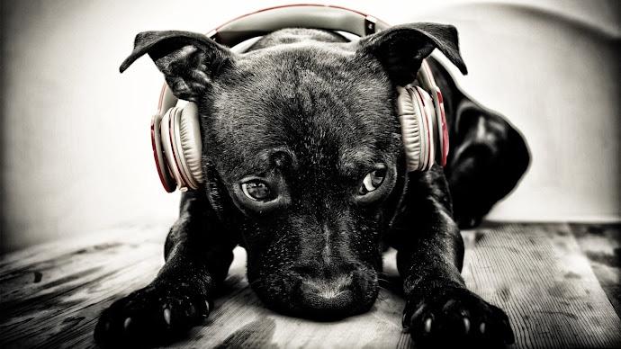 Wallpaper: Puppy with Beats Headphones